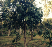 Latest Technology for OFF-Season Fruiting of Native Lanzones Tree
